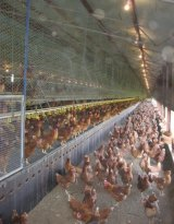Tocal College's egg farm.
