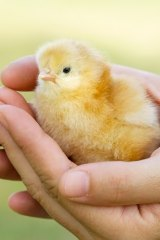 Millions of male chicks are killed each year in Australia.