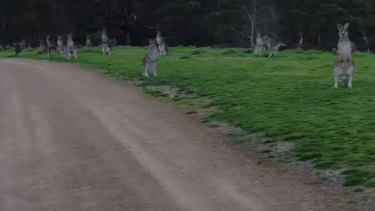 'Look at them. They're just standing there'. Kangaroos eyeball cyclist Ben Vezina at Hawkstowe Park.