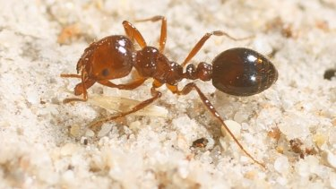 A marauding fire ant.