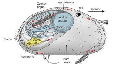 A sketch of a male ostracod, showing the organisation and orientation of the reproductive system.