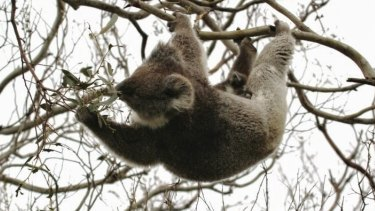 Koala in Otways in manna gums stripped of leaves.