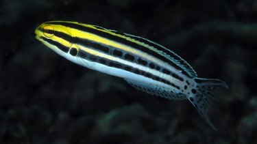 A fang blenny fish, which researchers have found has heroin-like defensive venom.