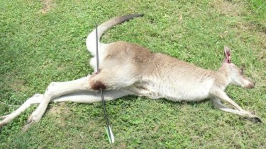 The female kangaroo shot through the leg in Grafton in January
