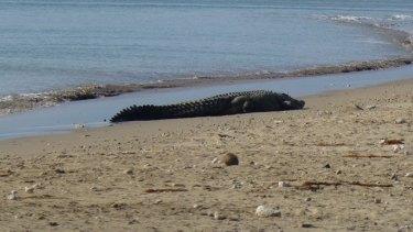 A four-metre-long crocodile sunbathing at Lasiana beach in late July 2016.