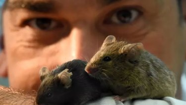 Associate Professor Sof Andrikopoulosof Melbourne University fed a version of the Paleo diet to some fat mice.