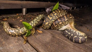 The carpet python was a third of the way through when Ryan Francis snapped this picture.