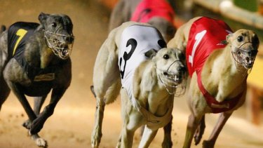 The greyhound report found  68,000 greyhounds had been euthanised in the past 12 years because they were too slow or unable to race.