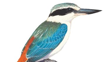 Red-backed kingfisher.
