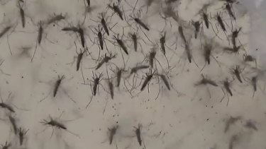 Aedes Aegypti mosquitoes which can carry the Zika virus