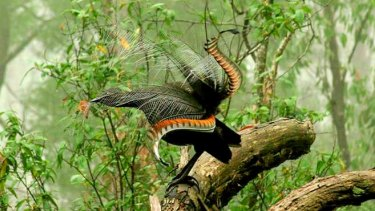 Superb lyrebirds reduced forest litter by 1.66 tonnes per hectare over a nine-month period.