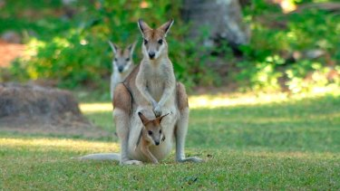 Scientists have confirmed they find agile wallabies cute.