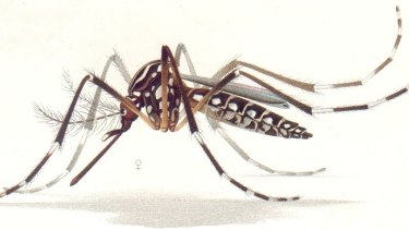 The yellow fever or dengue mosquito Aedes aegypti is responsible for transmitting the Zika virus.
