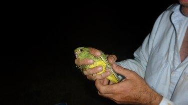 Dr Steve Murphy holds a rare night parrot.