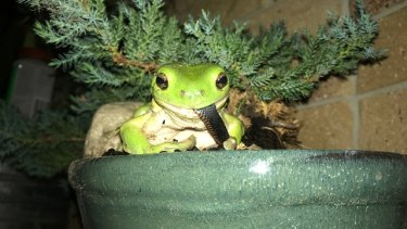 A green frog was spotted eating a red-bellied black snake near Woodford, Queensland.