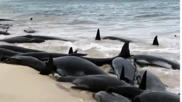 150 pilot whales beached at Hamelin Bay in WA.