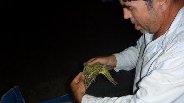 Dr Steve Murphy examines a night parrot.