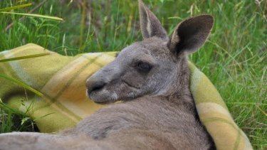 One of the kangaroos rescued after it was trapped down a mine shaft in Trentham.