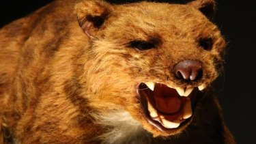 """If ever there was a creature that could be called a """"drop bear"""", it was the tree-climbing 100 kilogram marsupial lion."""