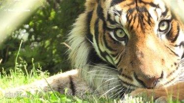 Sali, one of the Sumatran tigers at Hamilton Zoo.