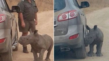 A baby rhino, named Donnie, was spotted cuddling up to a grey car after poachers killed his mother in the Kruger National Park, South Africa.