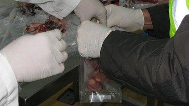 Inspectors bag samples of horse meat in Spain.