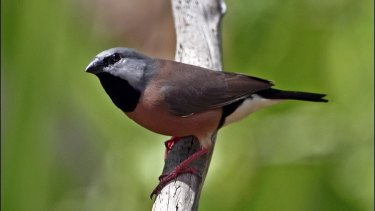 Black-throated finch.