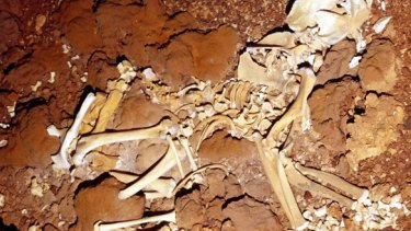 The skeleton of an ancient marsupial lion found in a cave.