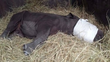 The calf was put to sleep for his journey to a wildlife care centre.
