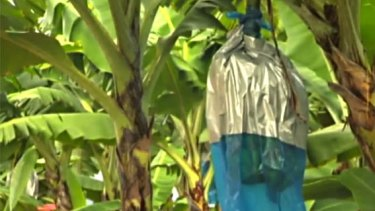 A second north Queensland banana farm has tested positive for Panama disease.
