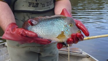 The pearl cichlid, an aquarium fish, has spread through many Australian waterways.