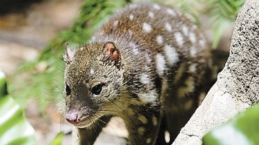 The spotted-tailed quoll is listed as vulnerable in NSW.