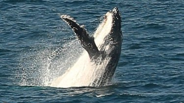 On the increase: Humpback whales