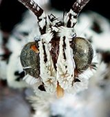 """Thai """"Princess"""" Moths"""