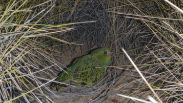 A night parrot spotted among the spinifex.