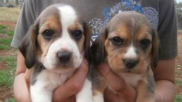 """Two beagle pups from an online advertisement which lists them as """"pure bred""""."""