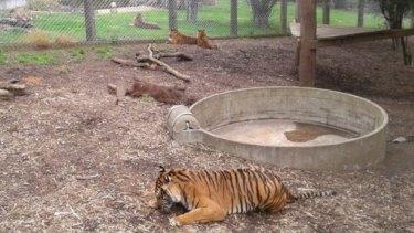 Tigers in their enclosure at Hamilton Zoo this week.