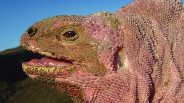 The Galapagos rosy iguana is unique to the archipelago.