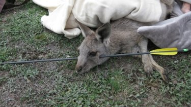The kangaroo shot through the head in Melbourne