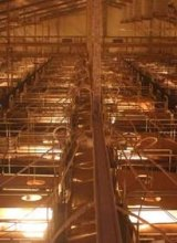 Wonga piggery became an inferno on Wednesday, killing 2500 pigs.