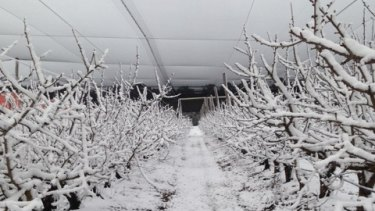 Snow blankets Cherry Park at The Summit, near Stanthorpe, on Friday.
