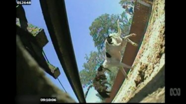 A still from a Four Corners story on live baiting.