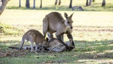 Hervey Bay photographer Evan Switzer captured a kangaroo mourning the loss of its mate in the wild.