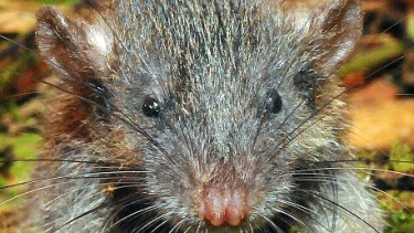 Gracilimus radix, or the slender rat, discovered on Indonesia's Sulawesi Island.