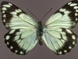 Casper White Butterfly.  Photo: Queensland Museum