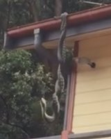 The two pythons were wrapped around themselves while hanging from their tails.