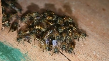 Asian honey bees first arrived in Australia in a ship's mast.