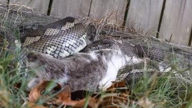 A snake catcher filmed a python consuming a pet cat at Sunnybank Hills.