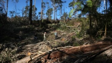 Logging in the Wedding Bells State Forest, in NSW.