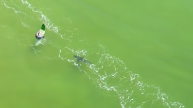 Drone footage captures a great white shark stalking unsuspecting surfers